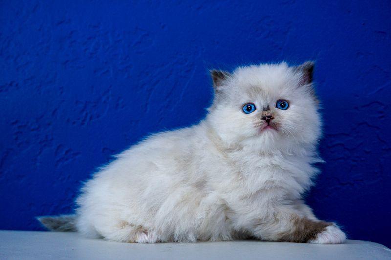 Ragdoll Kittens For Sale Near Me Buy Ragdoll Kitten Www Ragcats Us Ragdoll Kitten Kitten For Sale Ragdoll Kittens For Sale