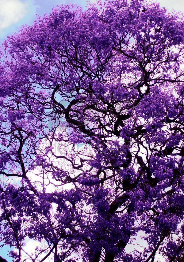 Flowering Trees A Jacaranda One Of The Few Things I Miss About Florida Color