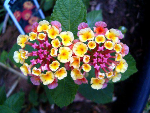 Facts About The Lantana Flower Lantana Flower Flowers That Attract Butterflies Plants To Attract Hummingbirds