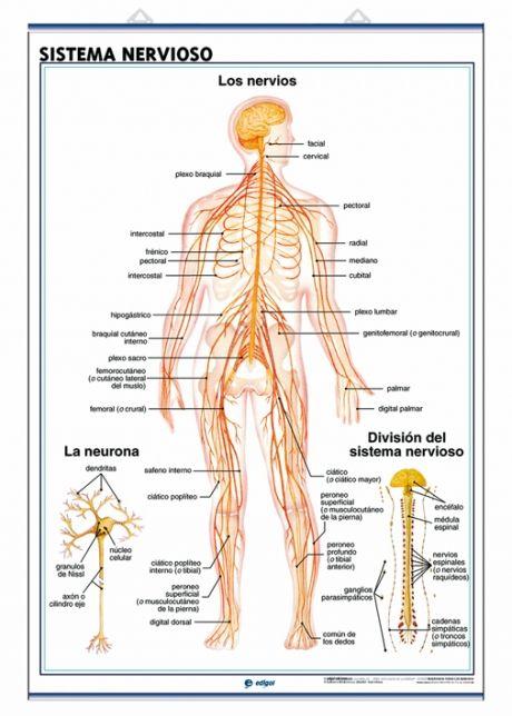 Sistema nervioso | Organos y sistemas | Pinterest | Sistema ...