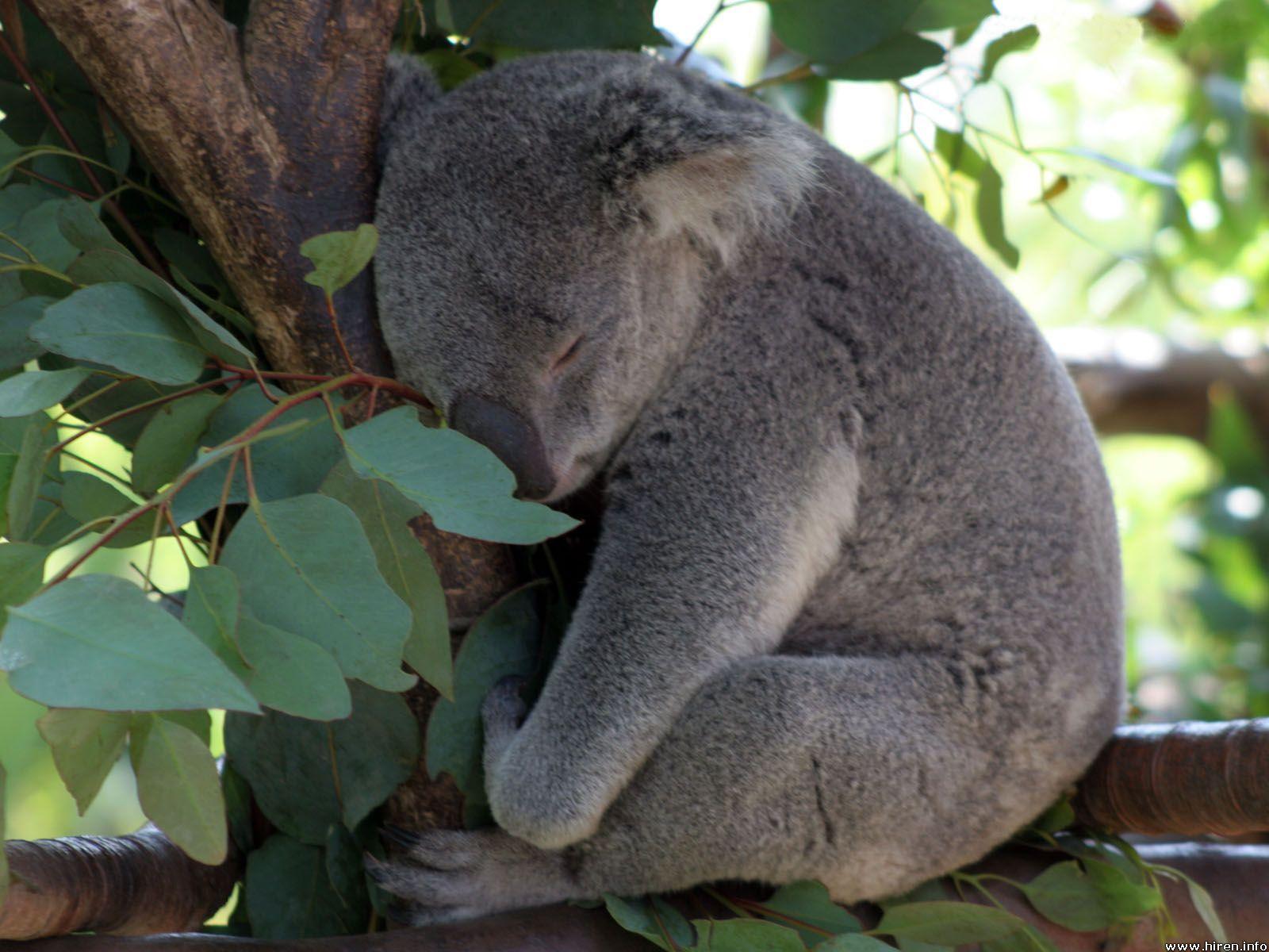 Las mejores rarezas de los marsupiales  Animal Bears and Baby koala