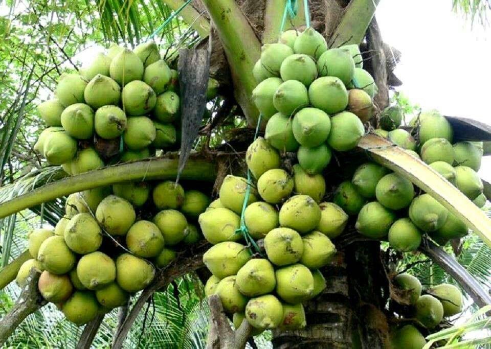 Surinam Fruits Como Plantar Mamao Ervas Frutas
