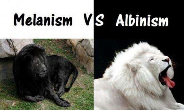 Melanism Vs Albinism Melanism Albinism Melanism Human