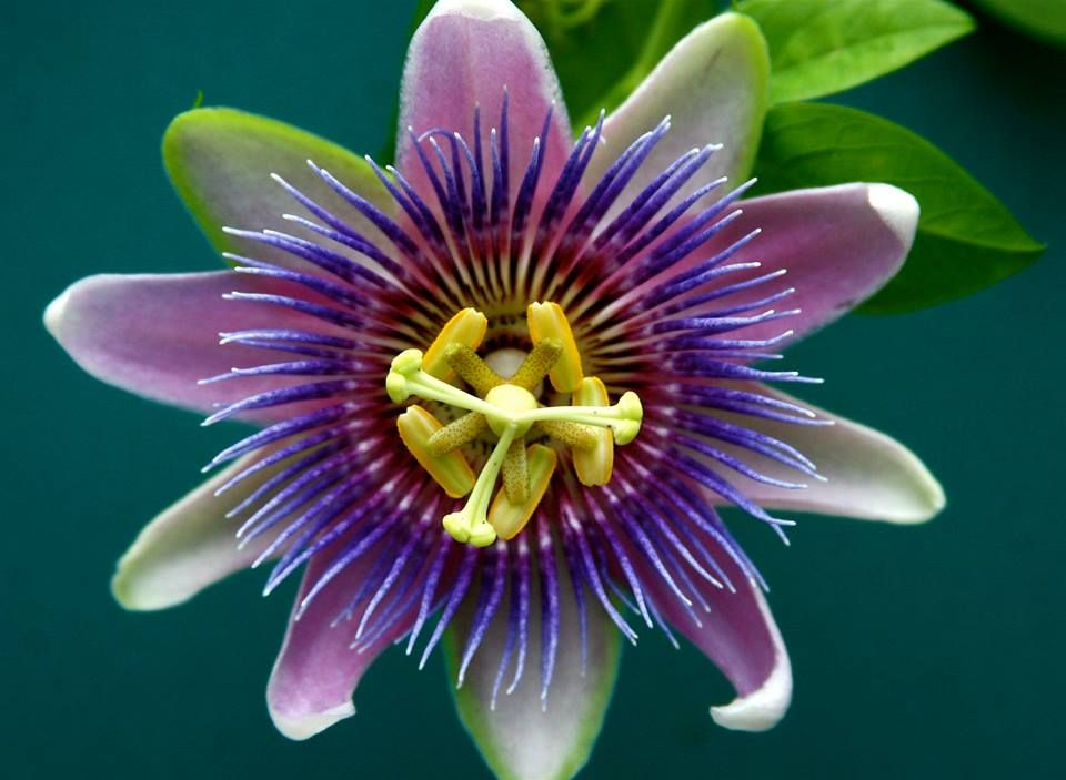Passion Flower Passiflora Known Also As The Passion Flower Or Passion Vine Is A Genus Of About 50 Passion Flower Passion Fruit Flower Purple Passion Flower