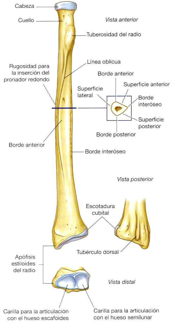 Pin On Anatomia Humana