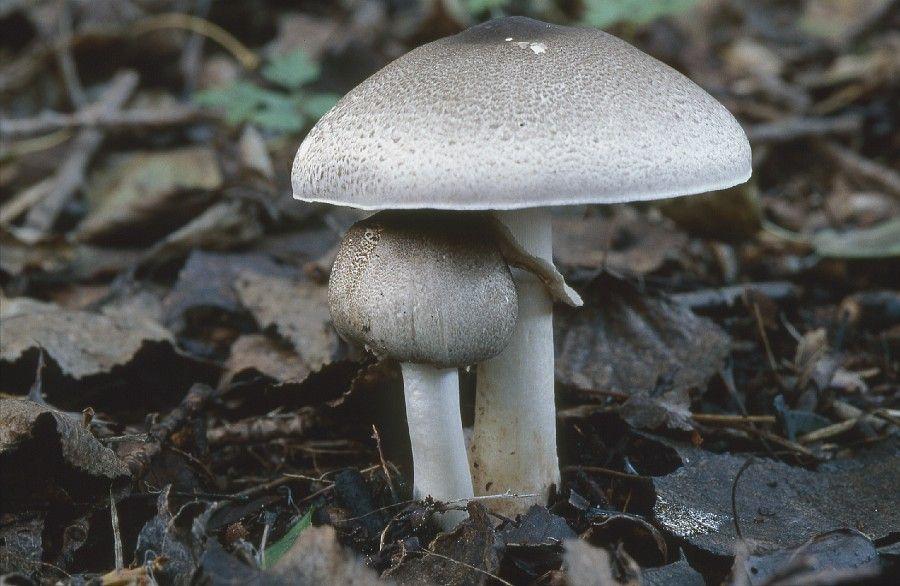 Champignon Agaricus