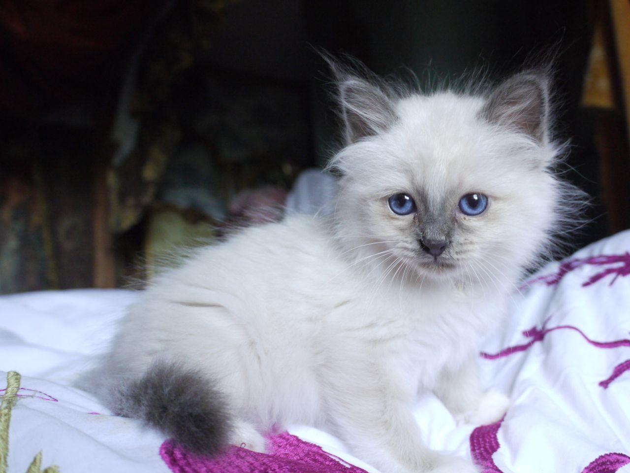 beautiful birman kittens for sale 51c03d b7 JPG 1 280—960