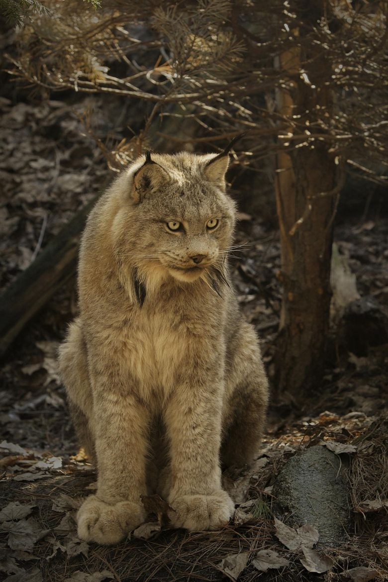Look at the HUGE paws on this beautiful lynx ! Cats