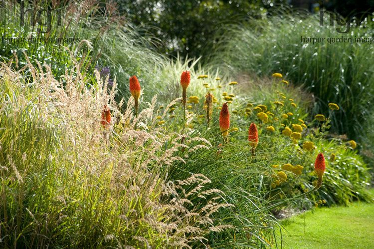 Harpur garden images ltd mwis1025 knifophia and ornamental harpur garden images ltd knifophia and ornamental grasses including miscanthus and achillea in bright sunlight august surrey rhs wisley surrey photo workwithnaturefo