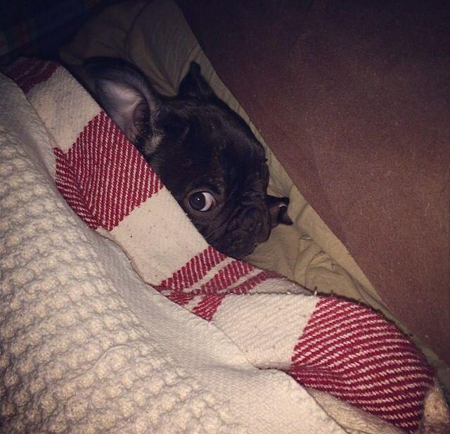Shhh... I'm hiding... French Bulldog