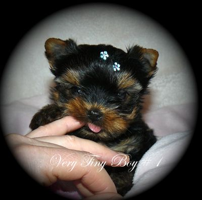 Yorkie Puppies For Sale B C Canada Teacup Yorkies For Sale In 2020 Yorkie Puppy For Sale Yorkie Puppy Teacup Yorkie For Sale