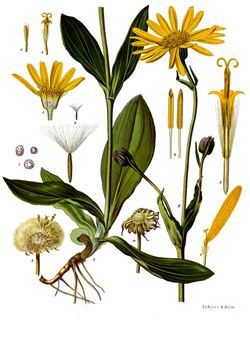 Herbal Plants With Yellow Flowers Koehler S Medicinal Plants 1887