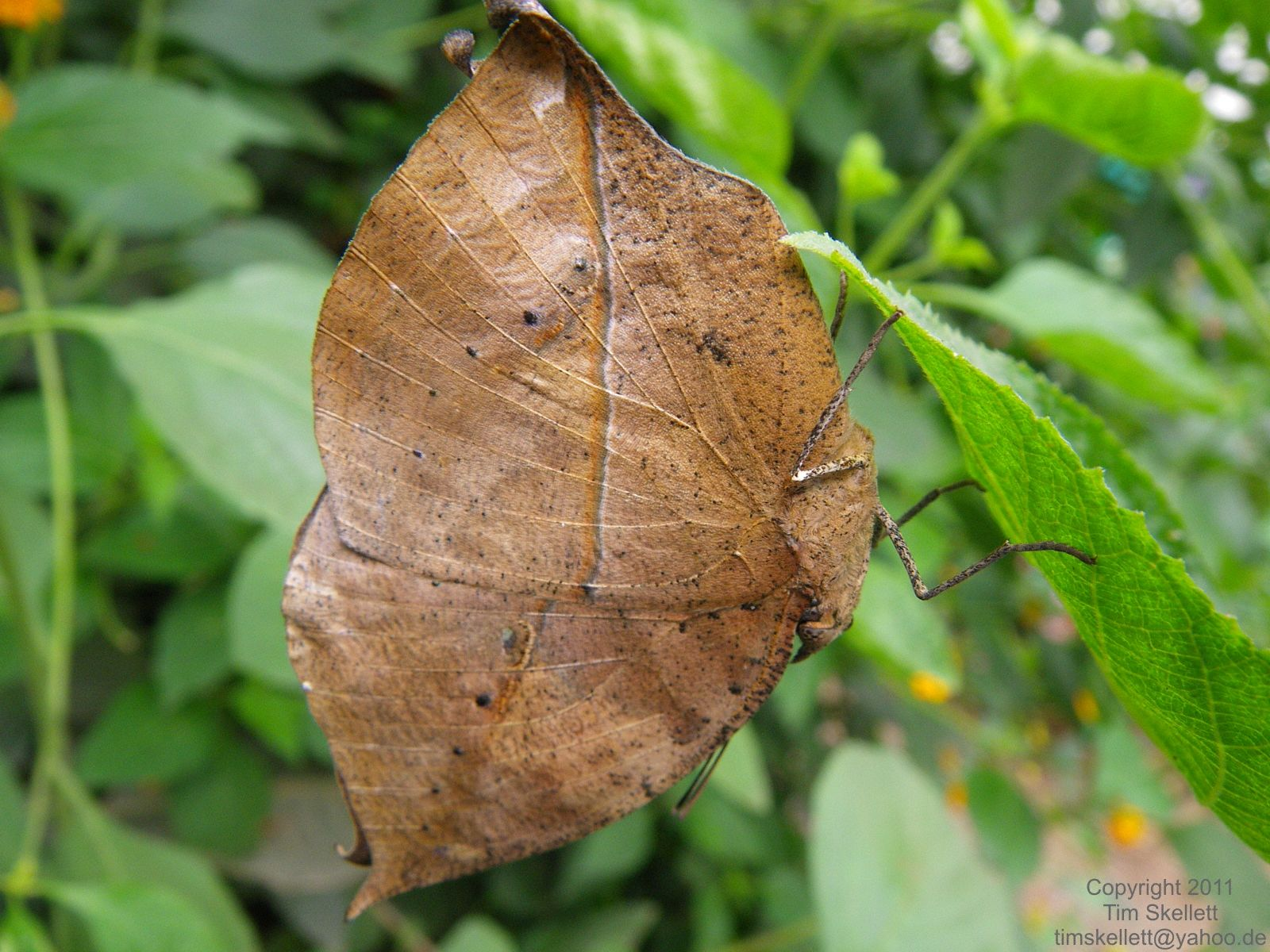 The Dead-Leaf Butterfly, Indian