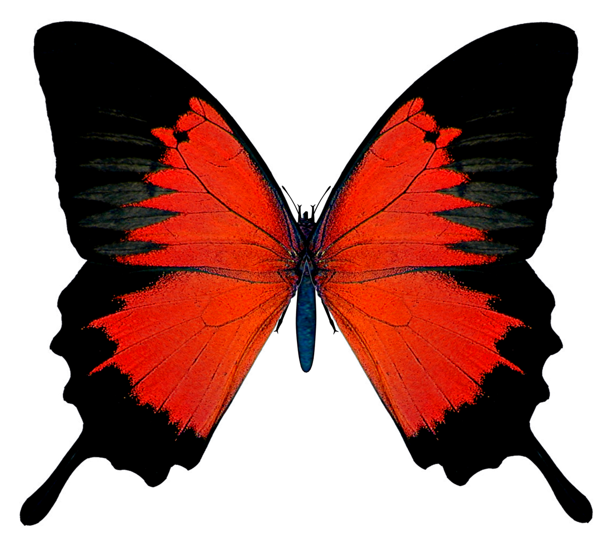 Black and red butterfly png picture illustration references black and red butterfly png picture biocorpaavc