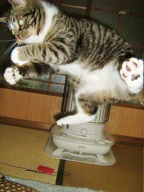 ジャンピングにゃんこ!  #cat