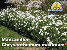 AB-Crisantemum (Manzanillon alto pan1.jpg (280×210)