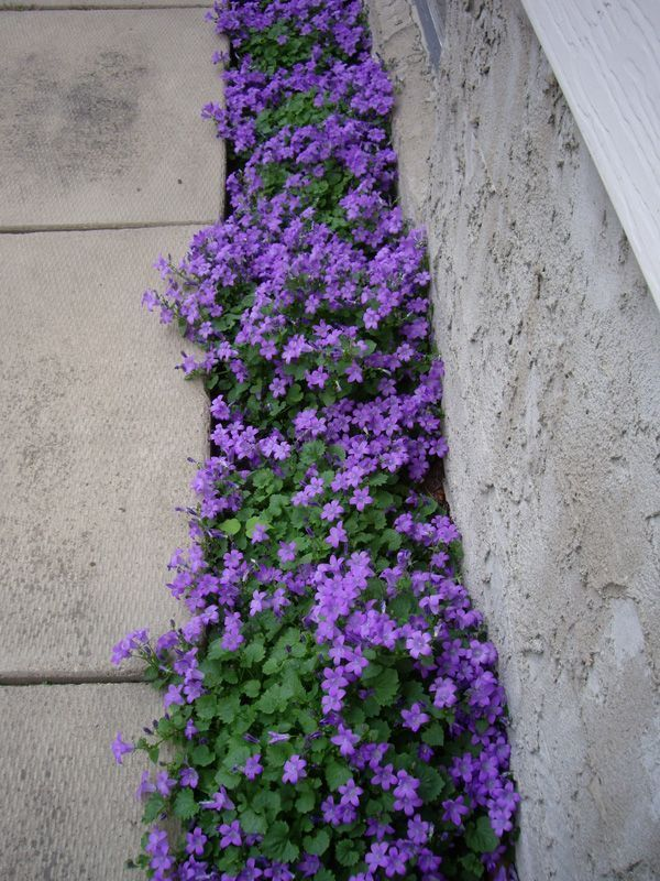 Purple Flowering Groundcover Campanula Portenschlagiana