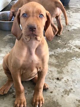 Vizsla Puppy For Sale In Reno Nv Adn 43280 On Puppyfinder Com