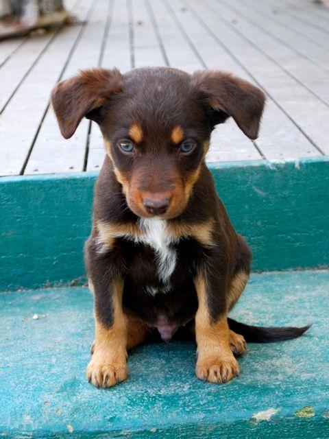 Kelpie Pup X Australian Dog Breeds Australian Sheep Dogs