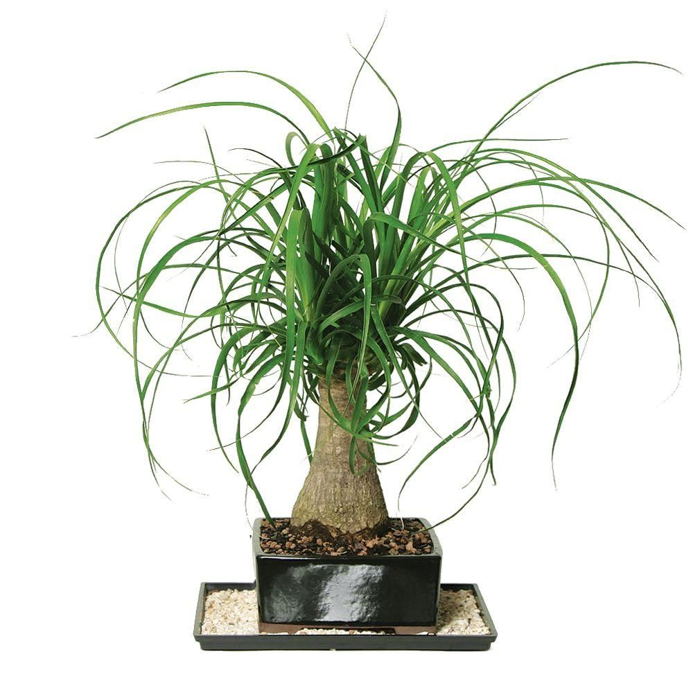 brussels bonsai ponytail palm indoor