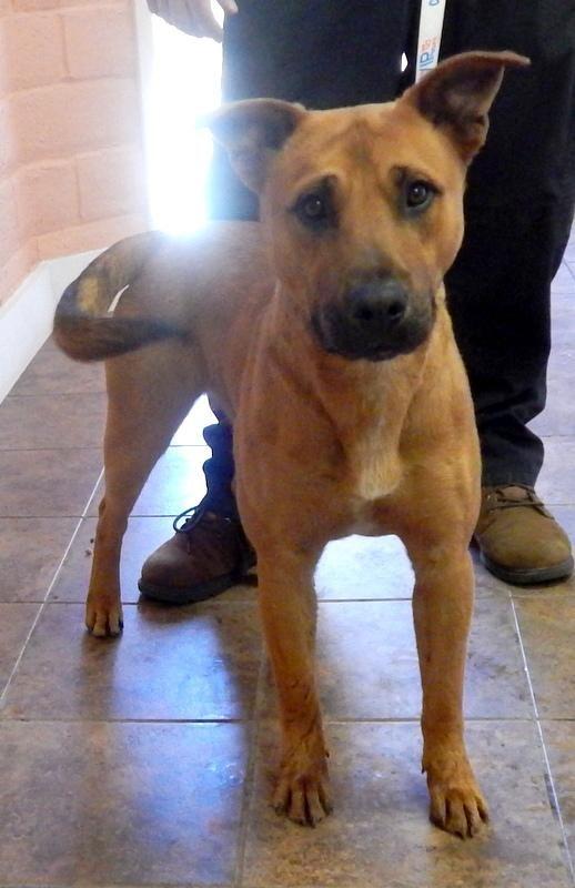 Lee 3 German Shepherd Dog Adult Male Large Spca Of Clearlake Kelseyville Ca Grea German Shepherd Dogs Adoption Dogs