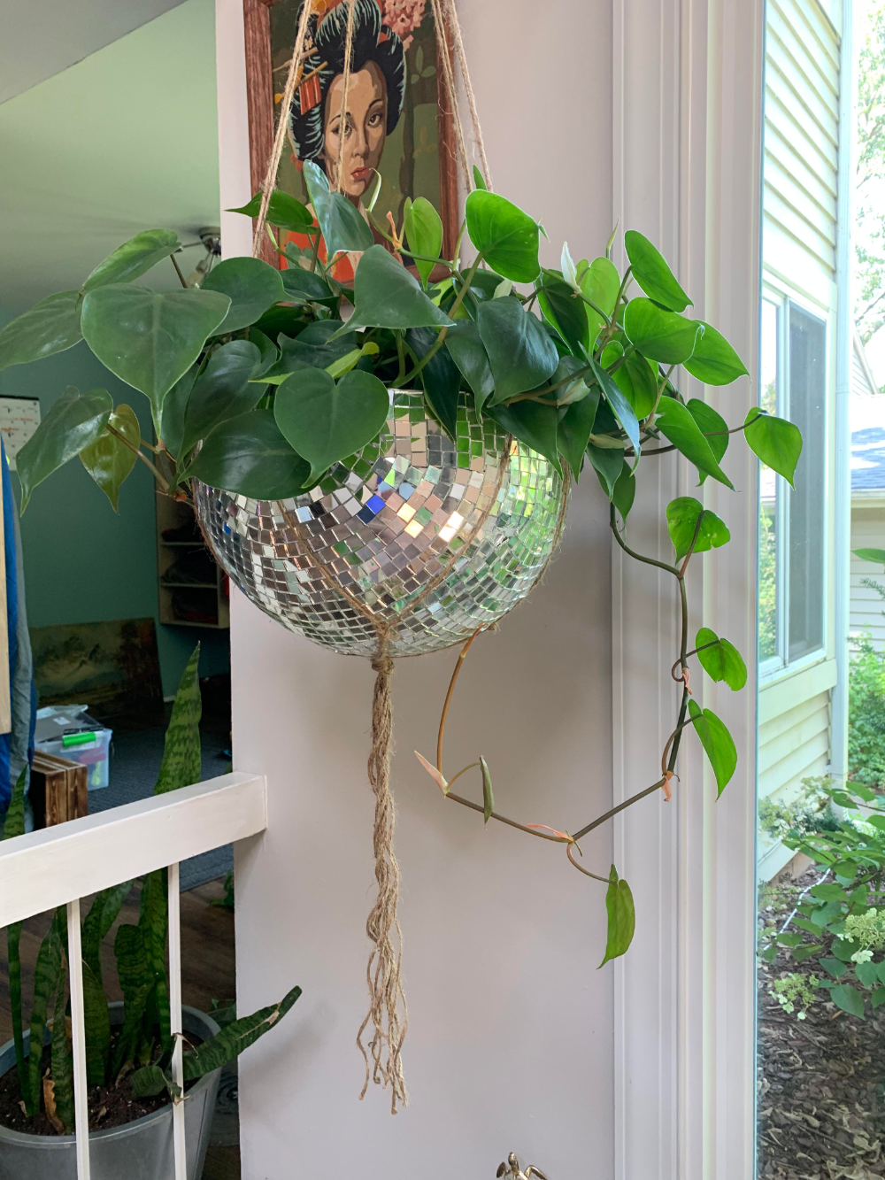 Disco never dies. Heart leaf philodendron from Trader Joe's loving its new hom...#dies #disco #heart #hom #joes #leaf #loving #philodendron #trader