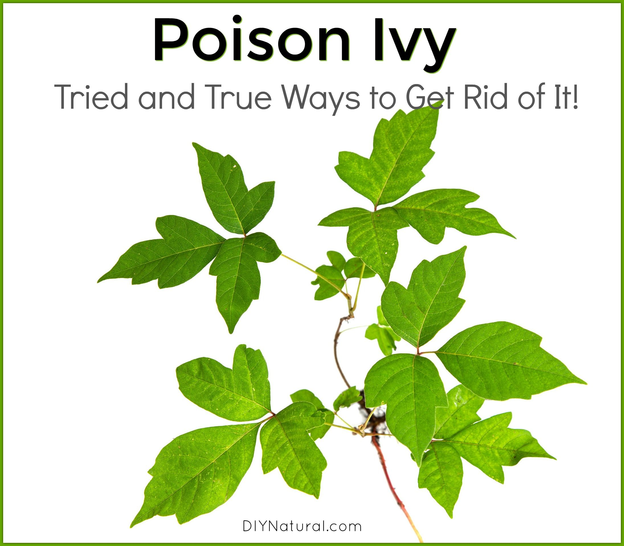 51ccde66a027a1d6a2181500e7e37e96 - How To Get Poison Ivy Oil Out Of Clothes
