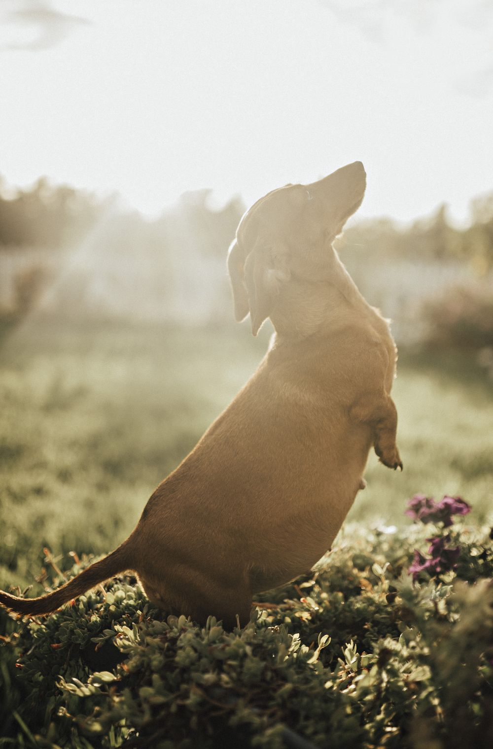 Cindi The Sausage Dog S Stunning Maternity Shoot Goes Viral