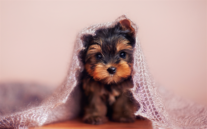 Download Wallpapers Yorkshire Terrier 4k Puppy Cute Animals Dogs Yorkshire Terrier Dog Besthqwallpapers Com Yorkshire Terrier Puppies Yorkshire Terrier Yorkshire Terrier Dog