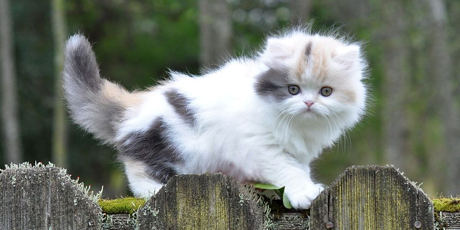 Munchkin Cat Information Characteristics Facts Names Munchkin Cat Cute Cats Pretty Cats