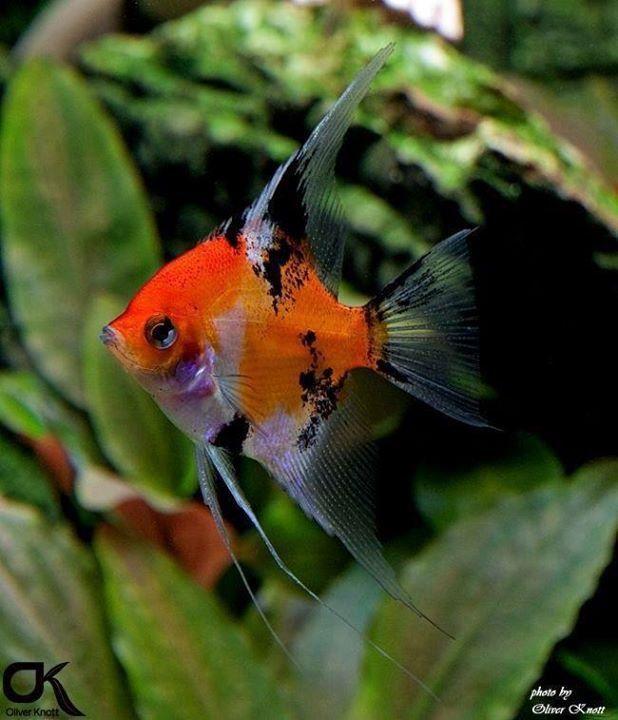 Calico Angelfish Aquarium Fish Angel Fish Freshwater Fish