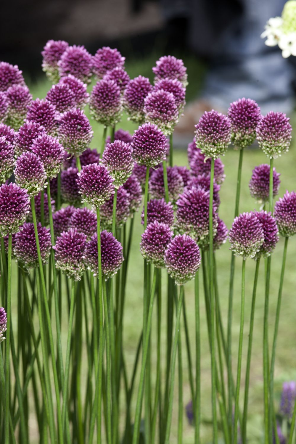 Allium Drumstick Pack Of 20 Easy To Grow Bulbs Flowers Photography Plants