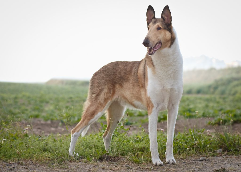 Classic Jonah Smooth Collie Dog Breed Info Dog Breeds