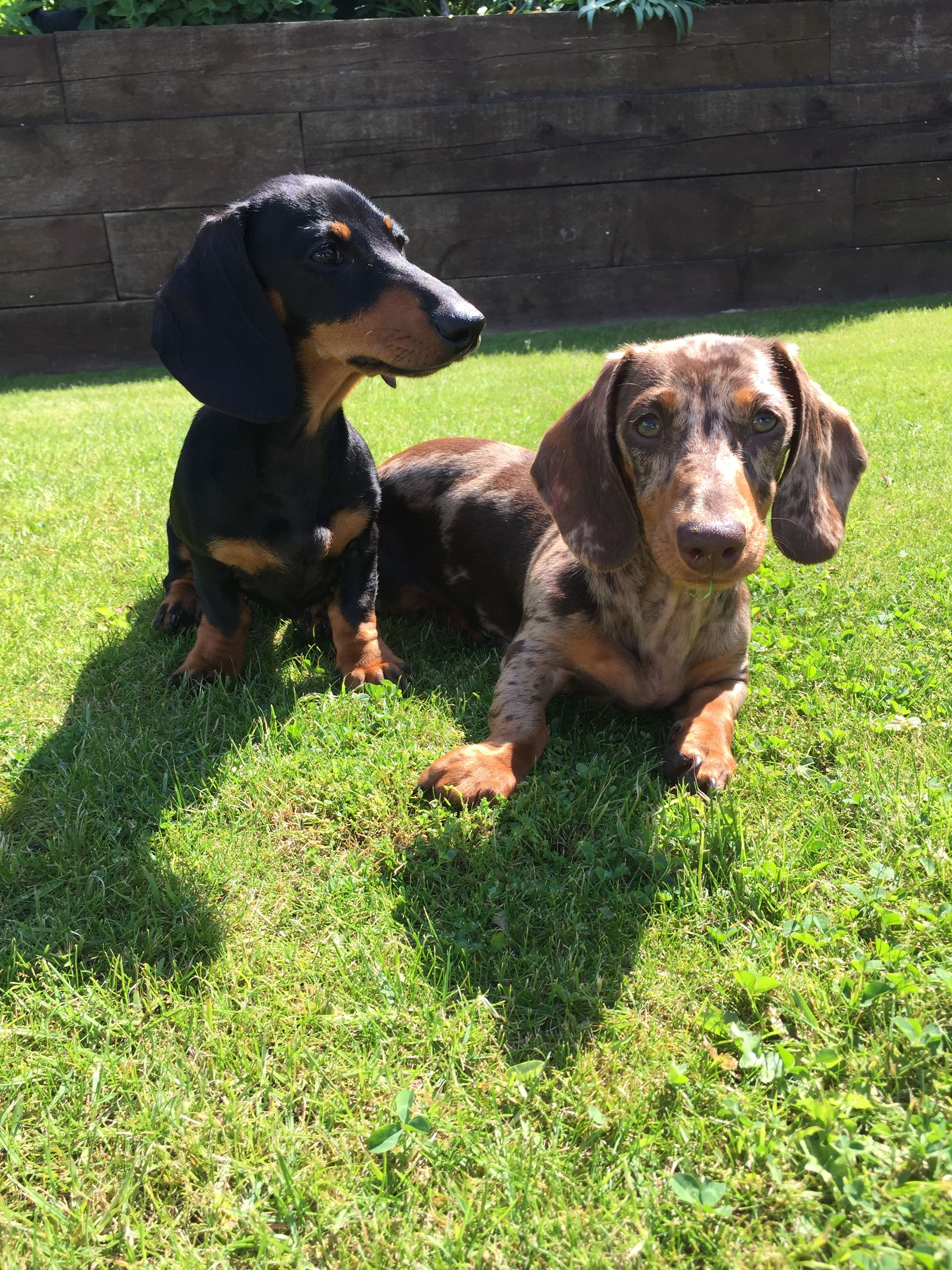 Pin By Gary Postlewait On Dachshund Puppies Miniature Dachshunds Dachshund Puppies Weiner Dog