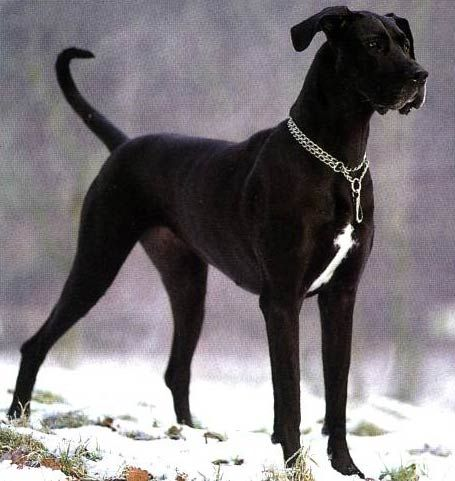 Black Great Dane Bahhh This Dog Is Daisy S Identical Twin With