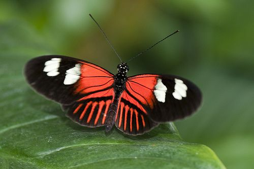 Red And Black Butterfly | 5501681503_89f26f8485_z.jpg