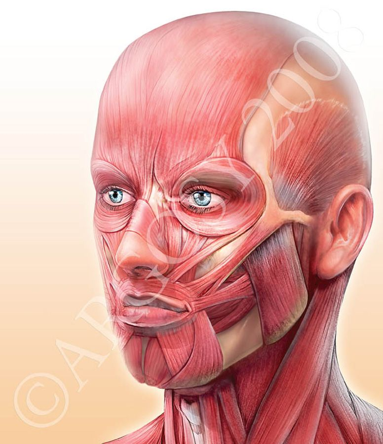 Head Muscles Anatomy References For Artists Sfx 301 Final