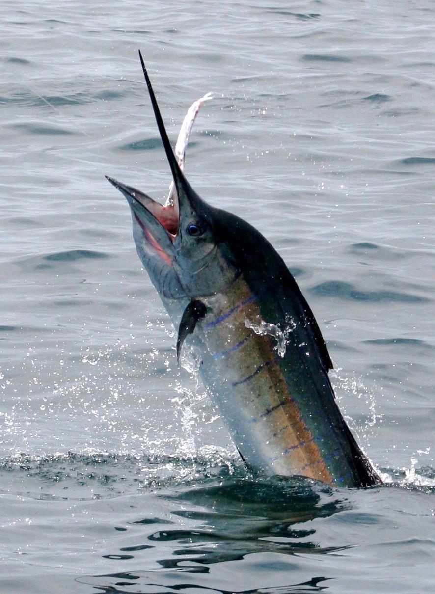 Pez vela del atlantico histiophorus albicans for Curiosidades del pez espada