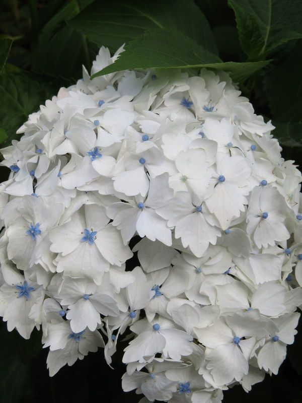 Image result for white hydrangea with blue center gardens image result for white hydrangea with blue center mightylinksfo