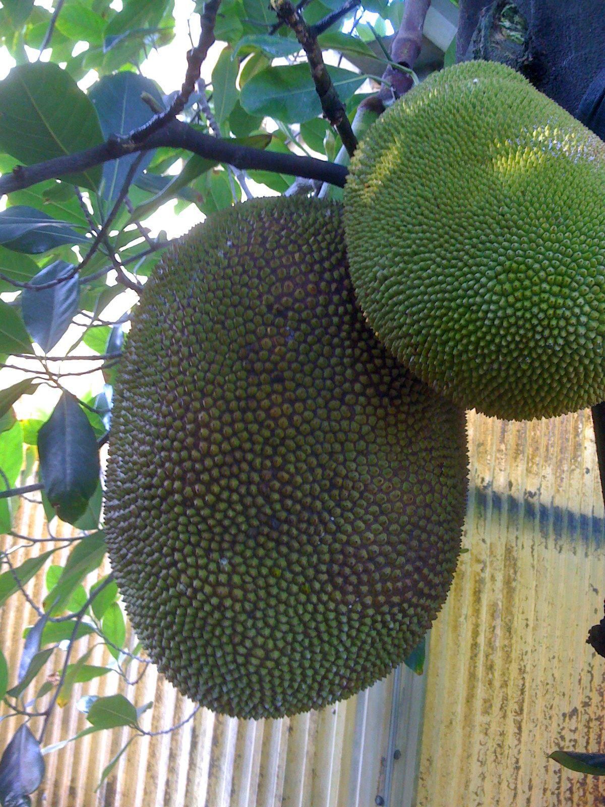 A Fruta Carambola Serve Para Que jackfruit 'bangkok lemon'  jaca, frutas exóticas, arvore de