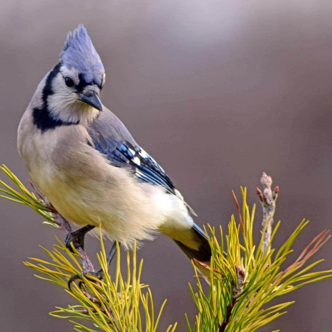 Pin by Stacey Putman on Blue Jay | Backyard birds, Blue ...