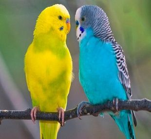 BUDGIES AGE AND GENDER The first step is to determine the
