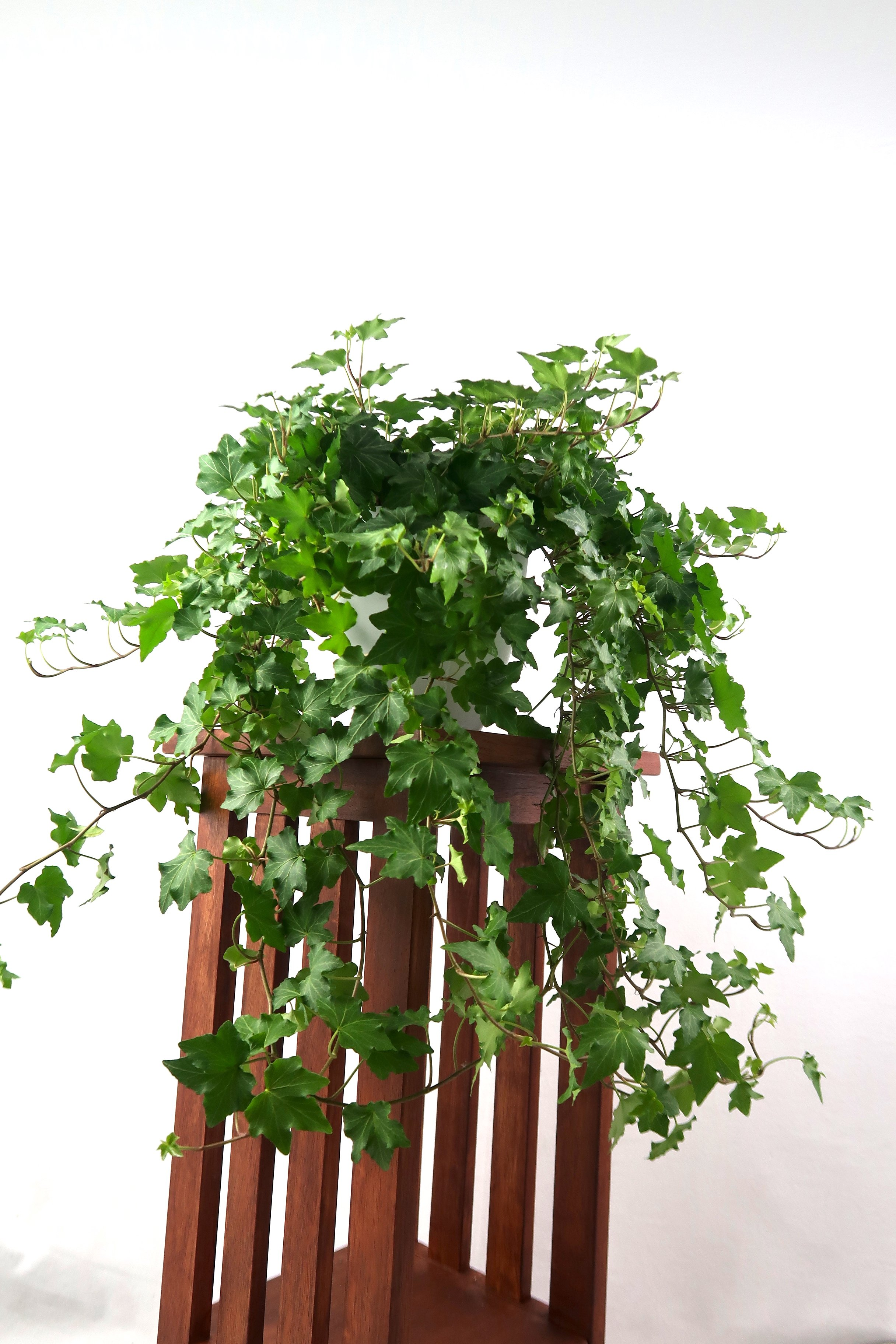 Large English Ivy Air Purifying Plant