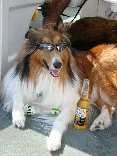 I Herd Summer Is Almost Here Corona Collie Rough