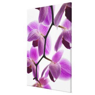 Phalaenopsis Orchid 3 Art | Phalaenopsis Orchid 3 Paintings ...
