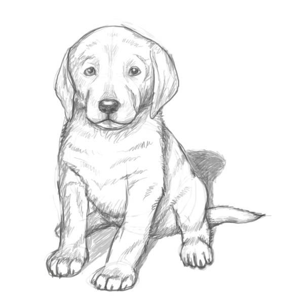 Yellow Lab Puppy Coloring Pages Dog Drawing Simple Dog Pencil Drawing Dog Drawing Tutorial