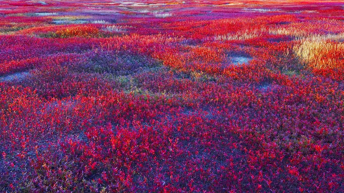 Blueberry Barrens Maine | lowbush blueberry barrens near meddybemps maine rudi sebastian getty ...