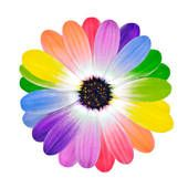 free multi colored daisy clipart | rainbow multi colored petals of daisy flower foto search clip art