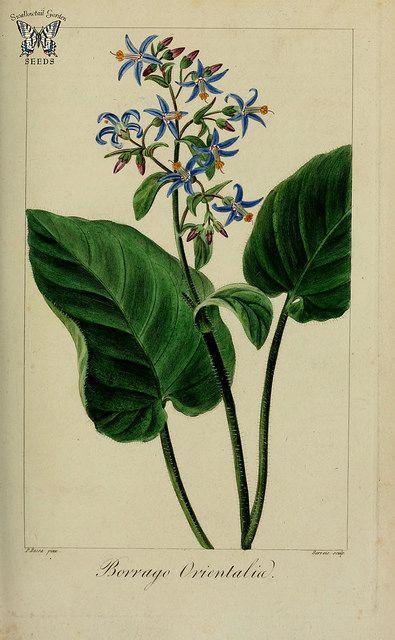 Trachystemon orientalis [as Borago orientalis] Herbier général de l'amateur, vol. 8 (1817-1827) [P. Bessa] | by Swallowtail Garden Seeds