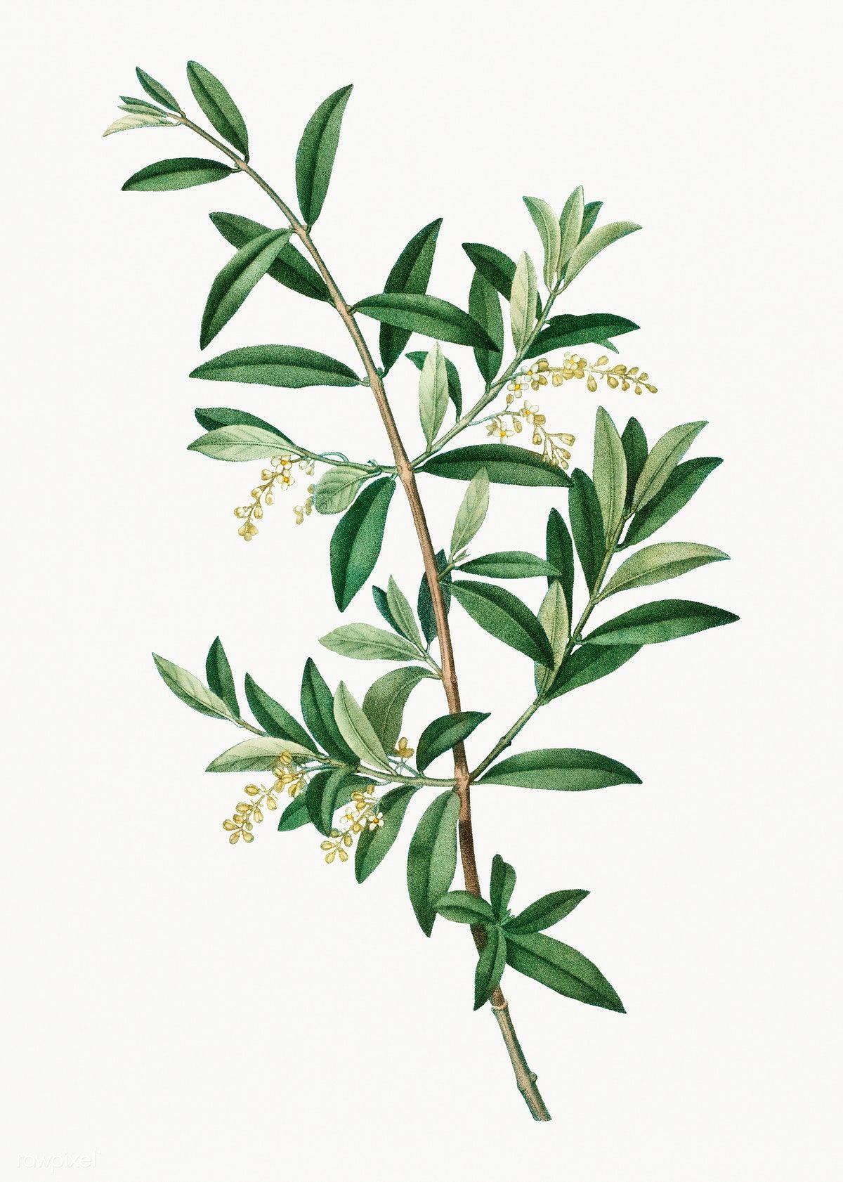 Download Premium Illustration Of Vintage Green Olive Branch Plant Botanical Illustration Vintage Plant Illustration Leaves Illustration